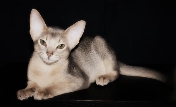 Абиссинская кошка глаза