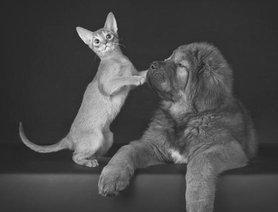 Абиссинская кошка друг