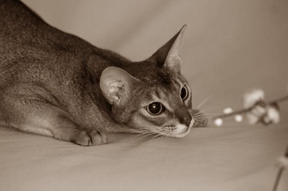 Абиссинская кошка охотник