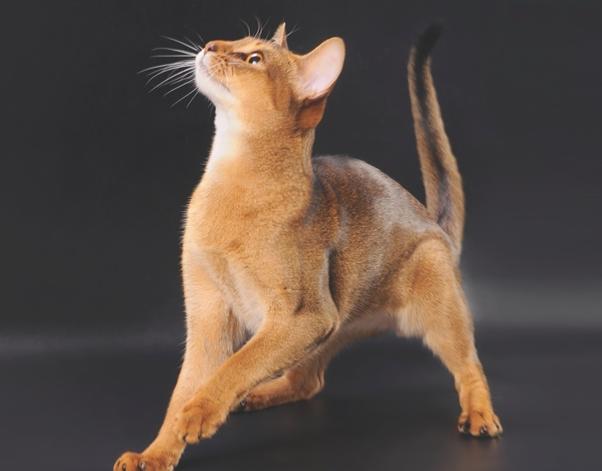 Абиссинская кошка шея