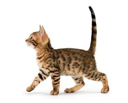 Азиатская табби котенок