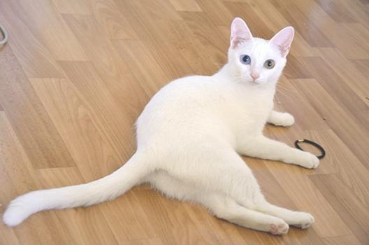 Анатолийская кошка голова, тело, хвост