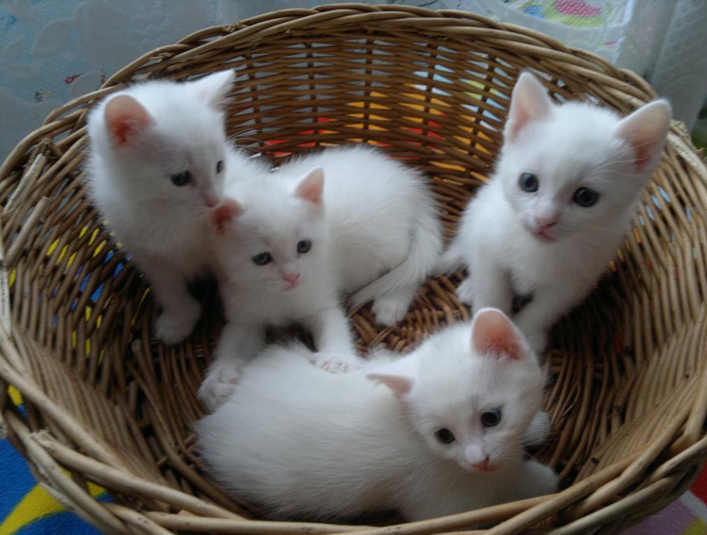 котята анатолийской кошки
