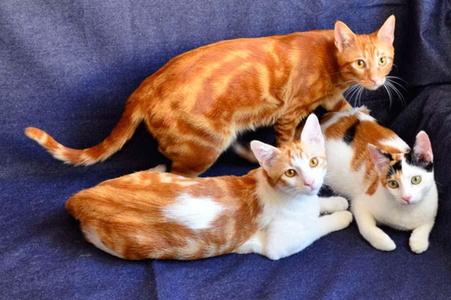Анатолийская кошка рыжая