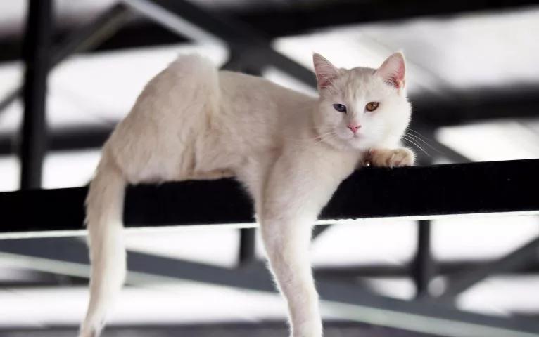 Анатолийская кошка1