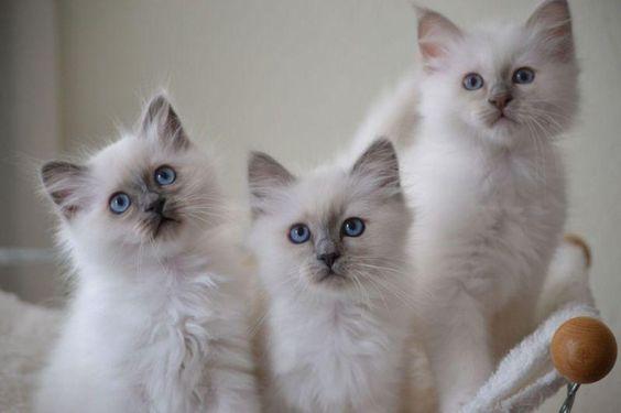 котята Бирманской кошки