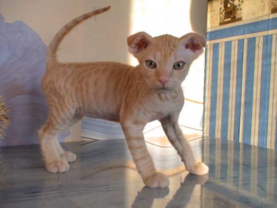 Украинский левкой котенок