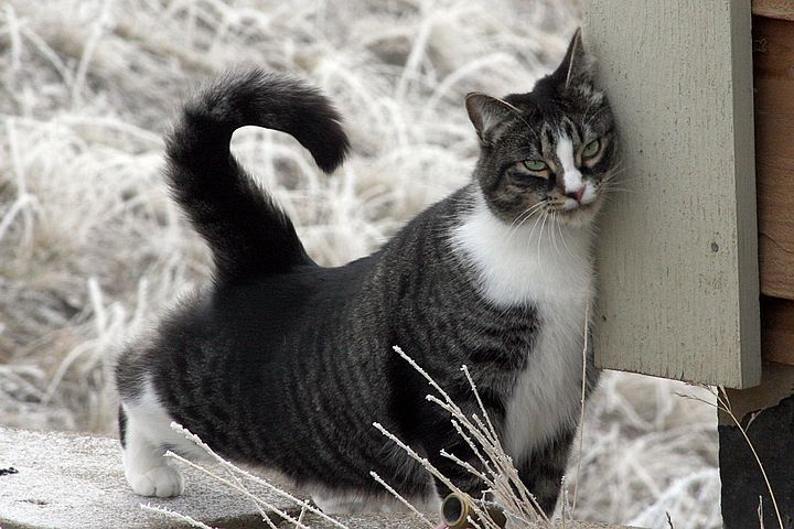 Американская короткошеостная кошка