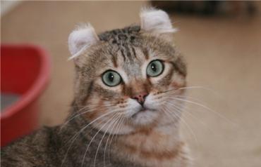 кот Американский керл