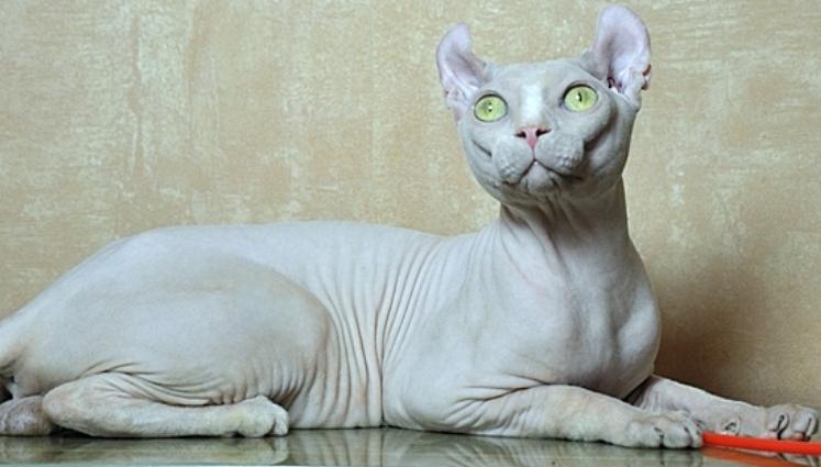 Эльф кот