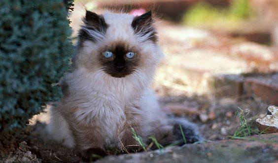 гималайская_котенок