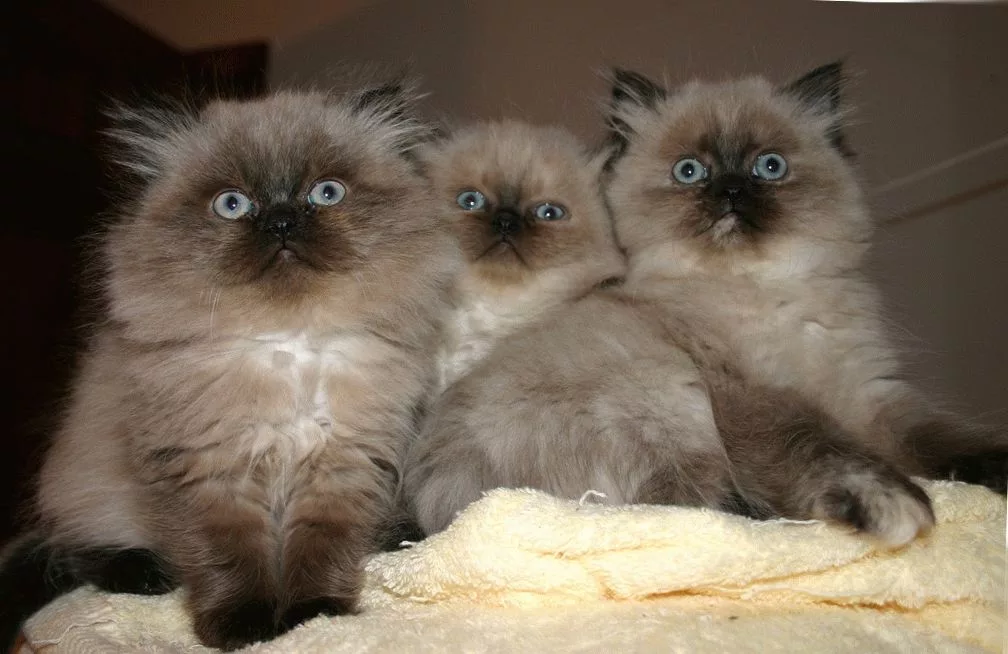 гималайская_котята
