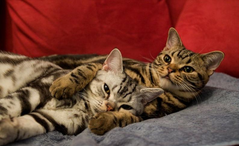 кошки американская короткошерстная