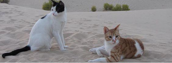 Аравийский мау кошки