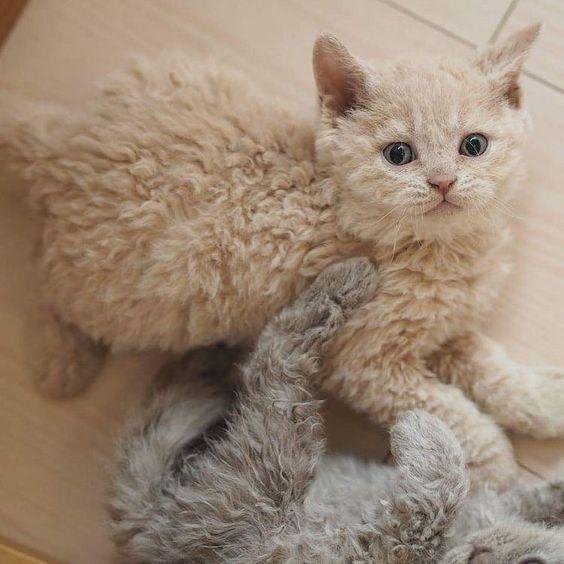 ЛаПерм_котята
