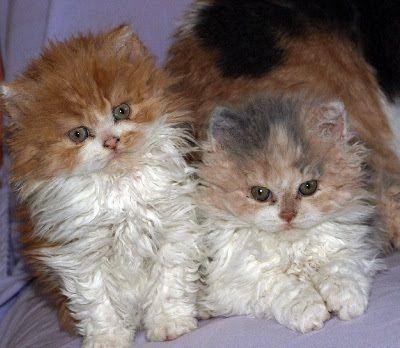 селкирк-рекс_котята