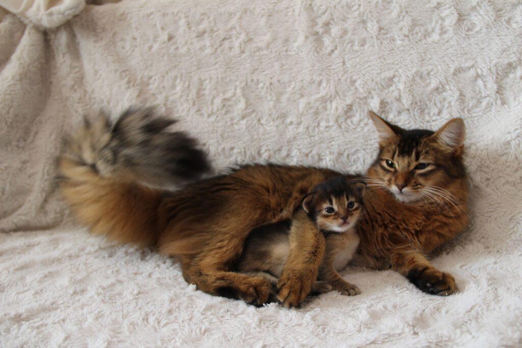 сомалийская кошка с котенком