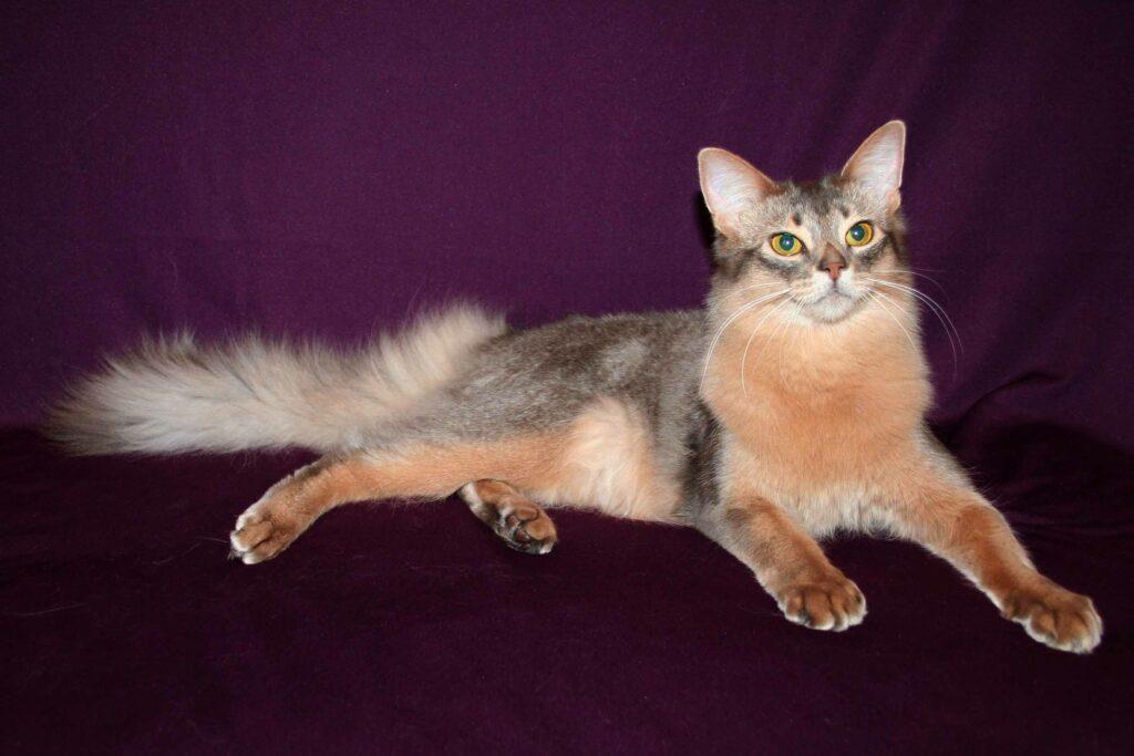 сомалийская кошка внешний вид