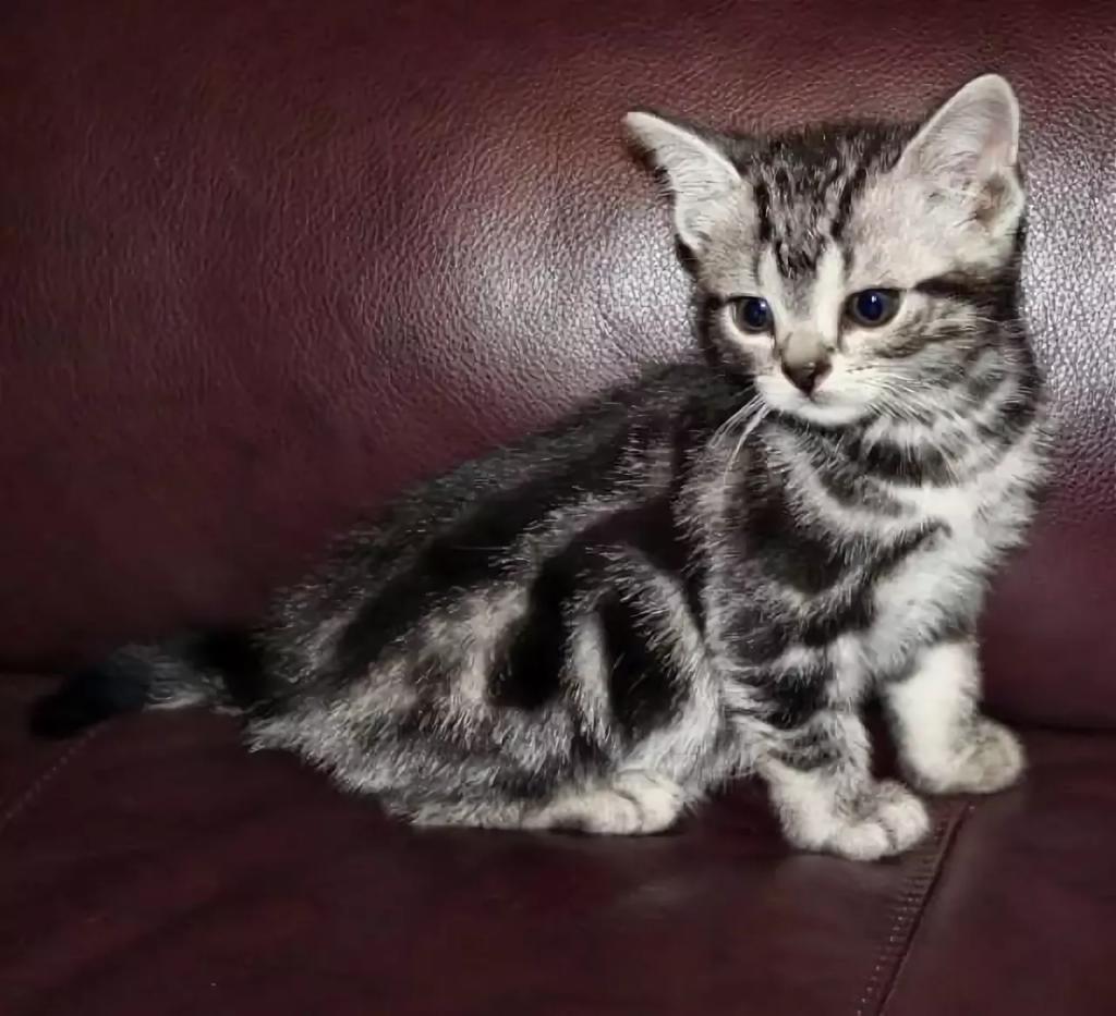 Cококе котенок
