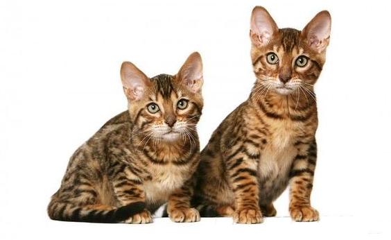 Cококе кошки