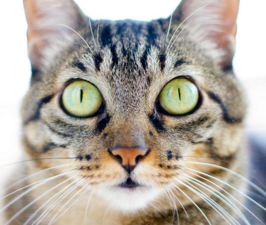 Бразильская короткошерстная кошка глаза