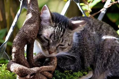 Бразильская короткошерстная кошка на улице
