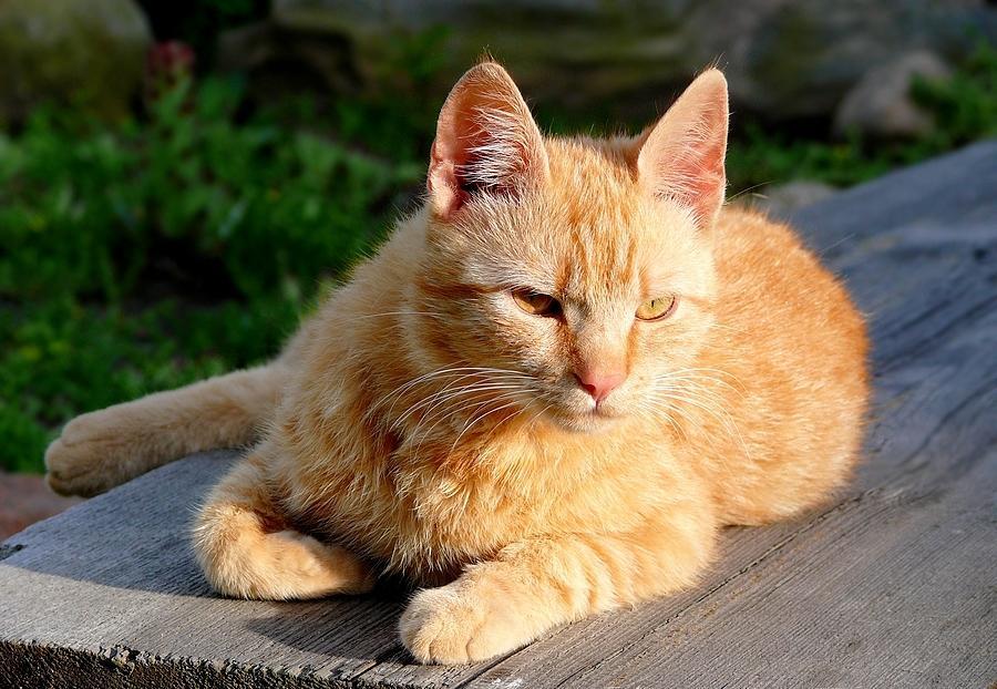Бразильская короткошерстная кошка рыжая