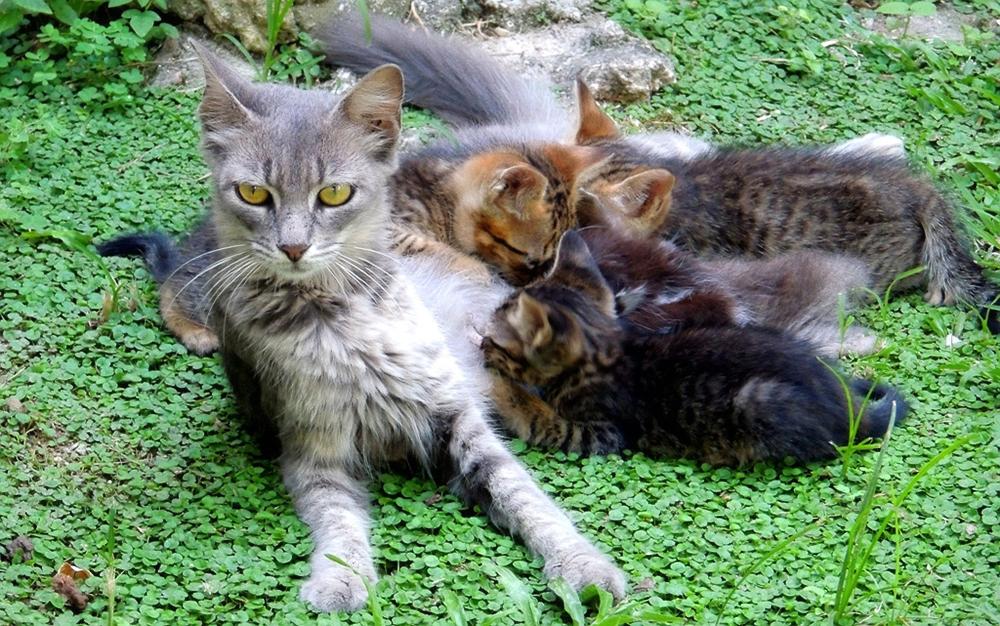 Бразильская короткошерстная кошка с котятами