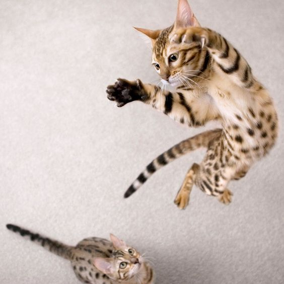 бенгальская кошка в прыжке