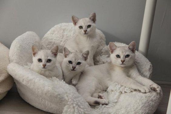 Бурмилла_котята
