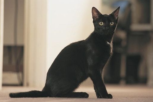 бомбейская кошка внешний вид