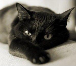 бомбейская кошка голова