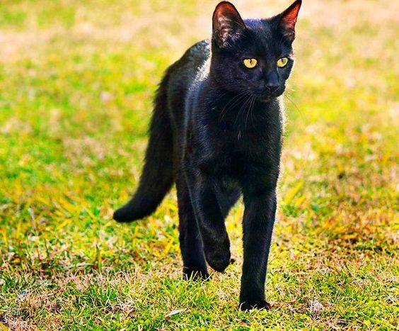 бомбейская кошка на улице