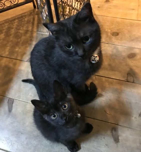 бомбейская кошка с котенком
