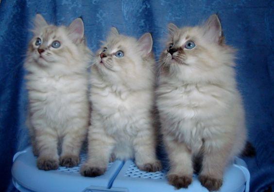 невская маскарадная котята
