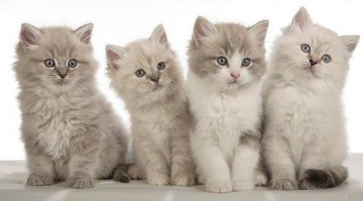 рагамаффин_котята