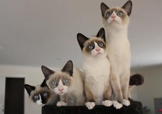 кошки сноу-шу