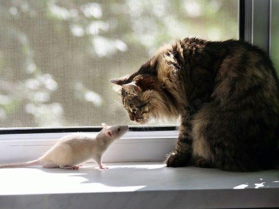 сибирский кот с крысой