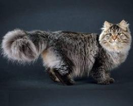 сибирский кот_главная