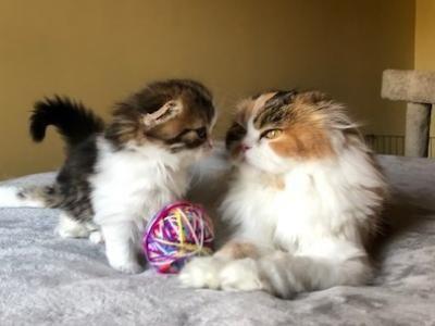 хайленд-фолд котята