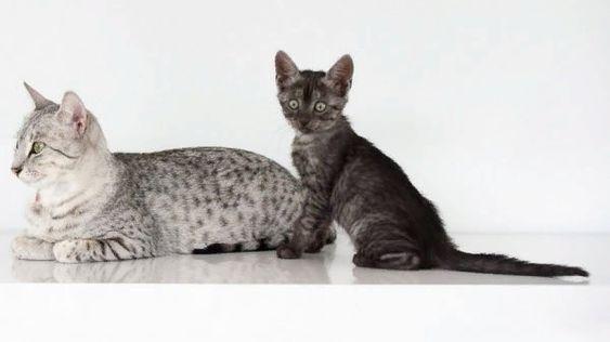 египетская маукошка с котенком